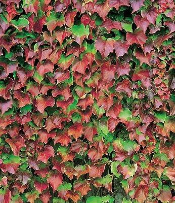 BALDUR-Garten Wilder Wein 'Veitchii', 1 Pflanze Parthenocissus von Baldur-Garten auf Du und dein Garten