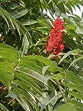 Echter Essigbaum -Rhus typhina- 20 frische Samen