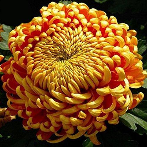 mymotto 100/ pcs Graines de Chrysanthème Graines Bonsai Fleurs Parfumées vivaces Jardin/Maison/ Bureau Plante 14 couleurs