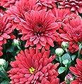 Winteraster Brennpunkt - Chrysanthemum Indicum von Baumschulen auf Du und dein Garten