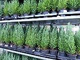 "20 Premium winterharte Koniferen ""Ellwoodii"" Zypressen Heckenpflanze Konifere Thuja"