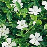Vinca minor 'Gertrude Jeckyll' - Weißes Immergrün 'Alba' - Bodendecker mit weißen Blüten: unverwüstlich, winterhart - 1 Pflanze im 2 Liter Container von Garten Schlüter - Pflanzen in Top Qualität