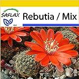 SAFLAX - Anzucht Set - Kakteen - Argentinischer Zwergkaktus - 40 Samen - Rebutia/Mix