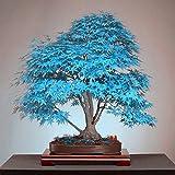 2017 New Mpale Baumsamen 30 PC / Satz Ahornsamen Bonsai Blau Ahorn Japanischer Ahorn-Samen Balkonpflanzen für Hausgarten 5