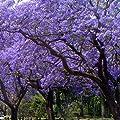 Palisanderbaum - Jacaranda mimosifolia - Samen von tropical.garden - Du und dein Garten