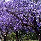 Palisanderbaum - Jacaranda mimosifolia - Samen