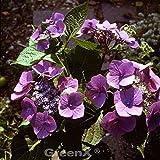 Bauernhortensie Mariesii Perfecta 40-60cm - Hydrangea macrophylla