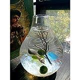 MARIMO Ball in einem Leuchtmittel Aqua Terrarium Tisch Deko Mini Aquarium Home Decor Schreibtisch Decor