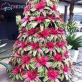 100 / bag Bromelie Samen Mischfarbe Cactus Pflanzen für Garten Samen wachsen Ananas Samen Obst Bonsai Pflanzer tropischen Bauernhof