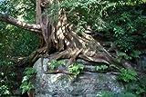 1000 Samen -Eibe- ,Taxus baccata'