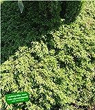 BALDUR-Garten Bodendecker Kriech-Wacholder 'Green Carpet', 1 Pflanze Juniperus communis