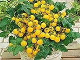 Balkontomate - Buschtomate - gelbe Cherry - Windowbox...