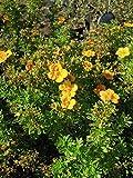 Fingerstrauch Mango Tango 30-40 cm Strauch für Sonne Zierstrauch gelb-orange blühend Terrassenpflanze winterhart 1 Pflanze im Topf