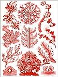 Posterlounge Alu Dibond 100 x 130 cm: Rote Algen und Seegras oder Florideae von Ernst Haeckel