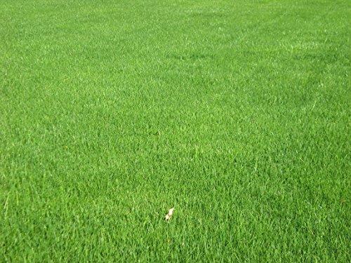 Tradico Samen Bermuda Gras Immergrün Rasen Gras 100Gm Samen Pack