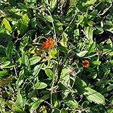 Hieracium rubrum (Rotes Habichtskraut) im 9 cm Topf