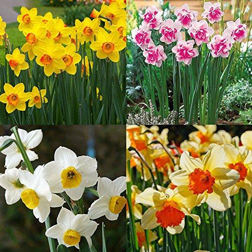 portal cool 400x misto daffodil doppie narciso duo bulbi semi pianta primavera fiore de yh