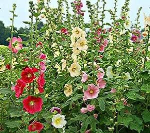 80 graines de Rose Trémière blanche jaune pâle