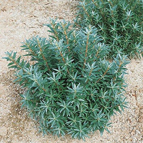 sanddorn-busch-mannlich-1-pflanze