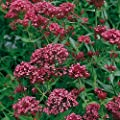 """Spornblume """"Rosenrot"""" - Centranthus ruber """"Rosenrot"""" - rot blühende, schneckensichere Staude im 11 cm Topf - frisch aus der Gärtnerei von Pflanzen-Kölle - Pflanzen-Kölle Gartenstaude von Kölle auf Du und dein Garten"""