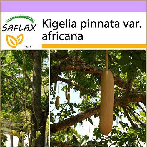 SAFLAX - Arbre à saucisses - 10 graines - Kigelia pinnata var. africana