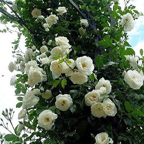 Aimado Seeds Garden-100 Collection rosiers grimpants graines,Véritables tentures fleuries, plante...