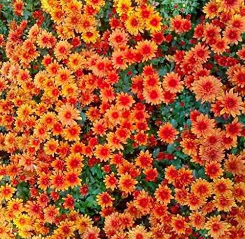Acecoree Samen Haus Entzückende Blume Duftende Samen Duftende Blüten Chrysantheme Samen - Aubergine Schatten