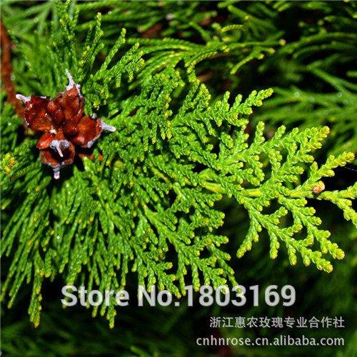 vente Hot 100 graines / pack cyprès graines Conifer semences maison jardin