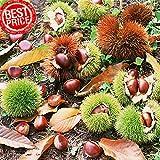 PLAT FIRM GERMINATIONSAMEN: 30gram / Los Bonsai Samen Chinesische Kastanie Baum Semente Pflanze Chestnut Garten