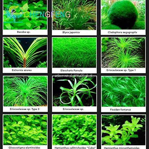 100 Pcs Aquarium Semences à gazon Mini plantes aquatiques Herbe Réservoir Graine d'intérieur Embellir poisson plantes BRICOLAGE SeedsAndPlants Herbes * Rare Cadeau Montre