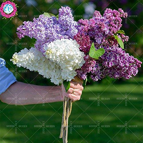 100 pcs / sac couleur Graines lilas japonais (très odorants) graines de fleurs de clou de girofle bonsaï comme plante cadeau pour la maison et le jardin grandir facile 10