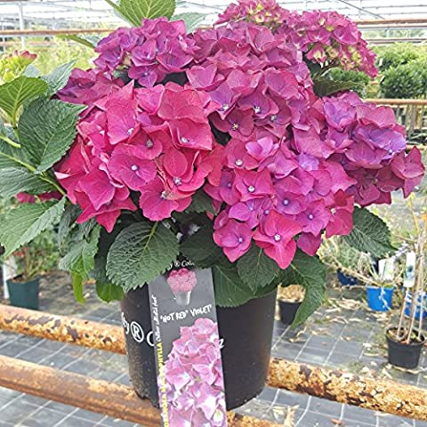 Extra Large Deep Red/Violet Flowering Hydrangea Plants | Hydrangea 'Hot Red Violet' Royalty Collection. Planted in a large 7.5 Litre Pot. Beautiful gift idea. 10-15