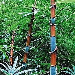 TOPmountain Moso Bambus Samen 100 Stück Riesige Bambus Samen