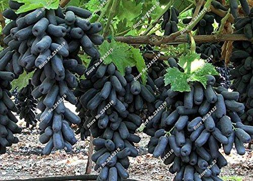 Bonsai Finger de pépins de raisin délicieux pot organique plante pour les plantes ornementales Maison et jardin Can comestible sain Fruit semences 60 Pcs 2
