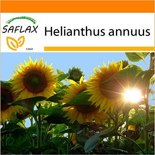Galleria fotografica SAFLAX - Garden in the Bag - Girasole Titan F1 - 20 semi - Helianthus annuus