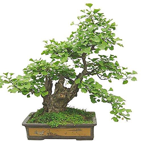 WuWxiuzhzhuo Big Promotion 20 Pcs Ginkgo Biloba Graines bonsaï Plante en Pot Paysage Maison Décoration de Jardin