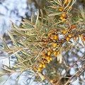 Dominik Blumen und Pflanzen, Sanddorn Busch, 1 Stück von Amazon.de Pflanzenservice - Du und dein Garten