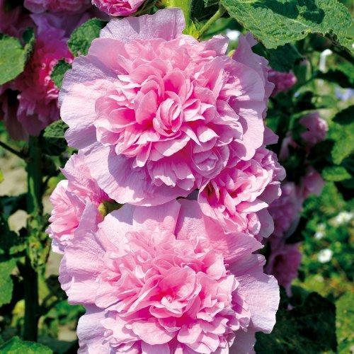 Sperli Blumensamen Stockrose Chaters Pink, grün