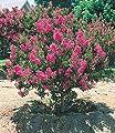 BALDUR-Garten Flieder des Südens,1 Pflanze von Baldur-Garten - Du und dein Garten