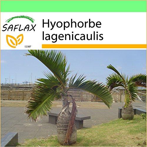 SAFLAX - Garden to Go - Flaschenpalme / Faßpalme - 3 Samen - Hyophorbe lagenicaulis