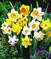 BALDUR-Garten 100 Tage-Narzissen-Mix, Osterglocken, 70 Zwiebeln Narcissus von Baldur-Garten auf Du und dein Garten