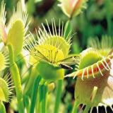 Venus Flytrap. - 1 plant