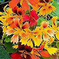 Gärtner Pötschke Kapuzinerkresse Phoenix von Gärtner Pötschke auf Du und dein Garten