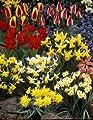 Sortiment 2 - 61 Blumenzwiebel, Tulpen + Narzissen von Amazon.de Pflanzenservice auf Du und dein Garten