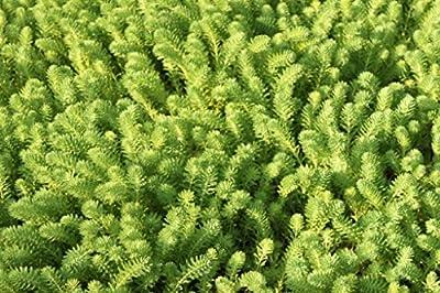 Wasserpflanzen Wolff - Myriophyllum brasiliense - Tausendblatt - Brasilianische Papageienfeder von Wasserpflanzen Wolff - Du und dein Garten