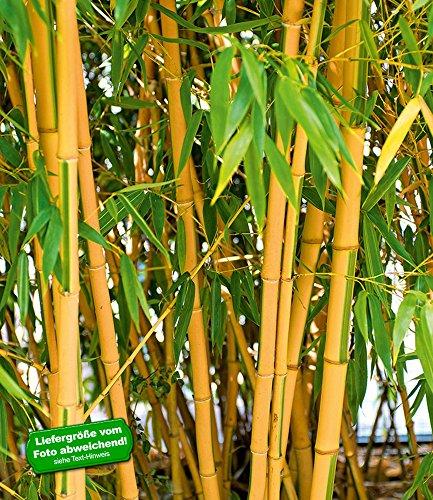 BALDUR-Garten Goldener Peking Bambus,1 Pflanze (Golden Bambus)
