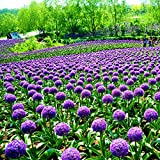 Doubleer 50 Teile/Satz Lila Riesige Zwiebel Allium Giganteum Samen Kit Blumensamen Garten Decor
