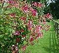 Exotisches Immergrünes Geißblatt Kletterpfanze - rosa Blüte - Lonicera henryi - 60-80cm im 2Ltr. Topf von GardenPalms auf Du und dein Garten