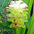 100 Samen Kurkumawurzeln Curcuma Longa Heilkräuter Gewürz * Einfache Pflanzen Bonsai Samen Garten-frische Samen Töpfe wachsen