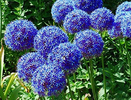 30pcs / sac géant oignon (Allium giganteum) graine rare bonsaïs fleur belle fleur plantes en pot jardin maison livraison gratuite kaki foncé